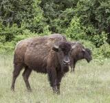 Free Photo - Bison in the Jungle