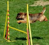 Free Photo - Dog Passing Obstacles
