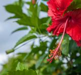 Free Photo - Fresh Hibiscus