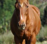 Free Photo - Brown Horse
