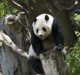 Free Photo - Panda on the Tree