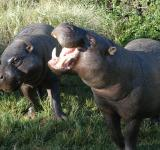 Free Photo - Pygmy Hippos