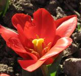 Free Photo - Fresh Tulip