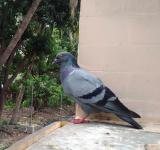 Free Photo - A Pigeon Bird (Columbidae)