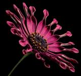 Free Photo - African Daisy