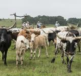 Free Photo - Longhorn Cattle
