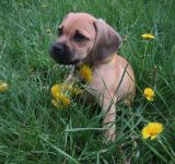 Free Photo - Puggle Puppy