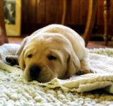 Free Photo - Yellow Labrador Retriever