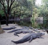 Free Photo - Alligators of the Lake