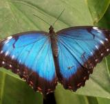 Free Photo - Blue Morpho Butterfly