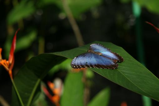 Blue Morpho Butterfly - Free Stock Photo