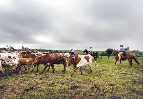 Cattle Drive - Free Stock Photo