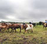 Free Photo - Cattle Drive