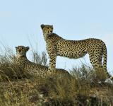 Free Photo - Cheetahs in the Jungle