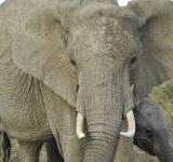 Free Photo - Elephant Closeup