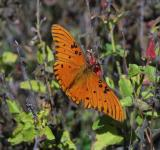 Free Photo - Gulf Fritillary Butterfly