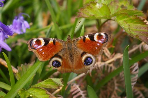Peacock Butterfly in the Garden - Free Stock Photo