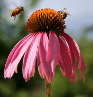 Bees in the Garden - Free Stock Photo