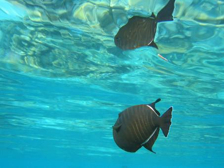 Black Triggerfish - Free Stock Photo