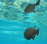 Free Photo - Black Triggerfish