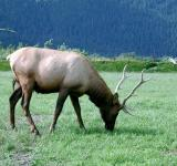 Free Photo - Elk in the Jungle
