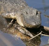 Free Photo - Wild Alligator