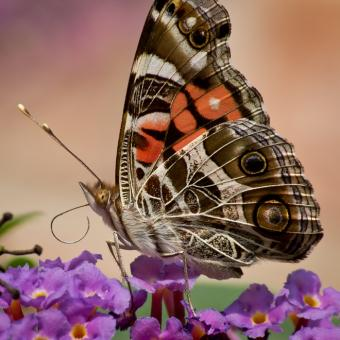 American Painted Lady Butterfly - Free Stock Photo