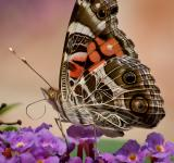 Free Photo - American Painted Lady Butterfly