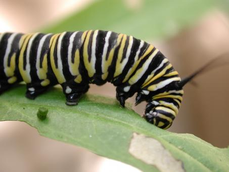 Caterpillar on the Leave - Free Stock Photo