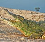 Free Photo - Crocodile on the Bank