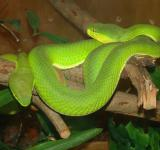 Free Photo - Palm Pit Vipers
