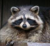 Free Photo - Raccoon in the Zoo