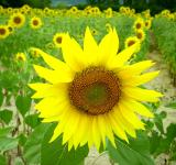 Free Photo - Group of Sunflowers