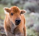Free Photo - Bison Calf