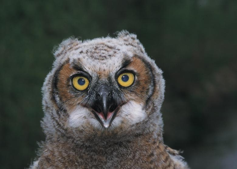Free Stock Photo of Great Horned Owl Created by Pixabay