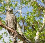 Free Photo - Horned Owl on the Branch