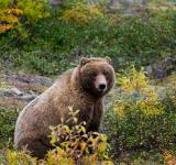 Free Photo - Wild Grizzly Bear