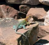 Free Photo - Lizard on the Rock