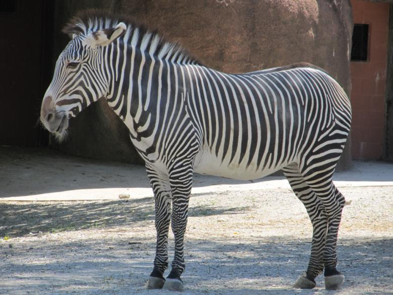 Free Stock Photo of Zebra in the Zoo Created by Pixabay