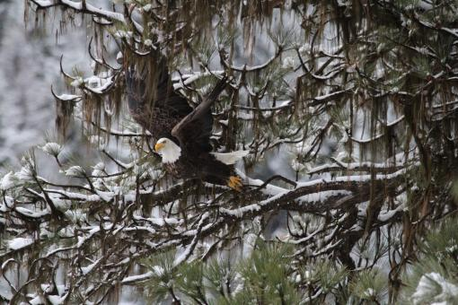 Bald Eagle Takingoff - Free Stock Photo