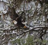 Free Photo - Bald Eagle Takingoff