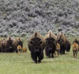Free Photo - Wild Bisons