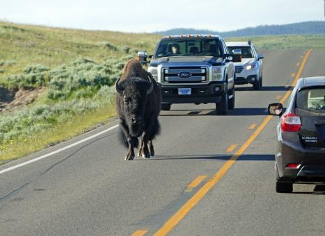 Buffalo on the highway - Free Stock Photo