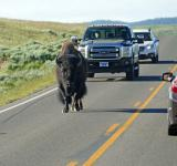 Free Photo - Buffalo on the highway