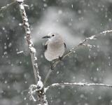 Free Photo - Clarks Nutcracker