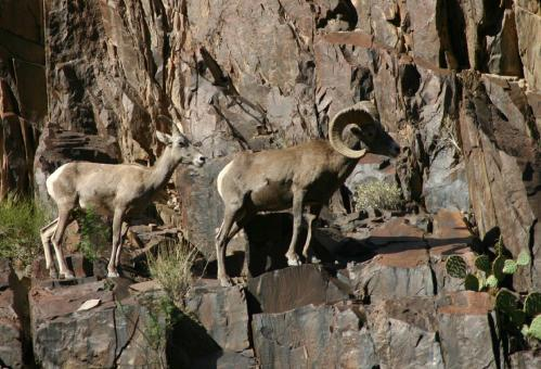 Desert Bighorn Sheep - Free Stock Photo