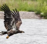 Free Photo - Golden Eagle Flying