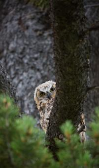 Great Horned Owl - Free Stock Photo