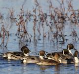 Free Photo - Pintail Ducks in the River
