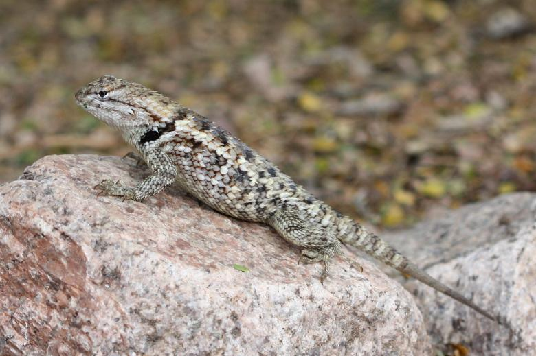 Free Stock Photo of Spiny Lizard Created by Pixabay